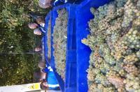 Bumper grape harvest